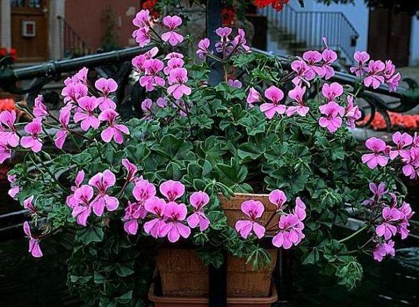Для плющелистой герани характерны зонтичные соцветия