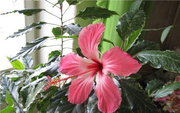 Гибискус хорошо известен и под названием китайская роза