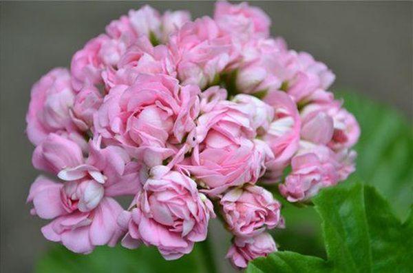 Розебудная пеларгония включена в группу зональных растений