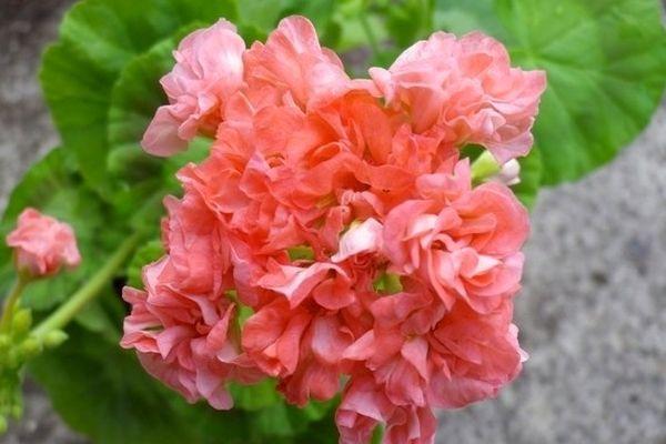 Розебудная пеларгония нуждается в регулярном поливе