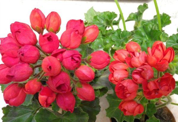 Герань тюльпановидная представлена всего лишь 14 сортами