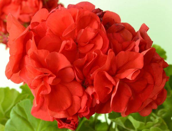 Ярко-красные цветки пеларгонии South african sun