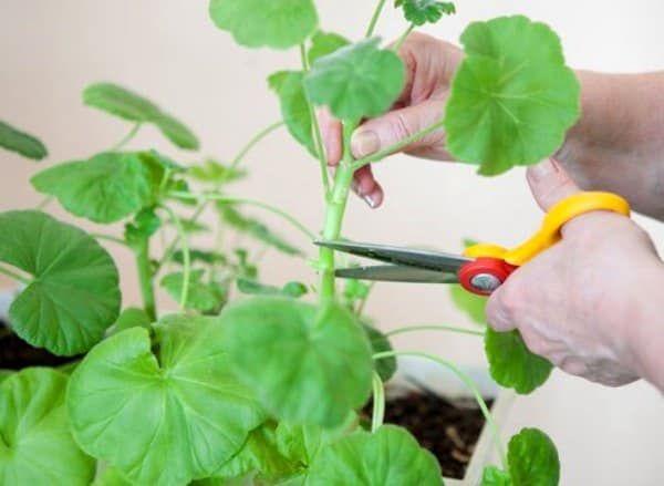 Не следует травмировать пеларгонию во время цветения