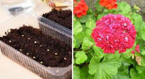 как садить герань семенами