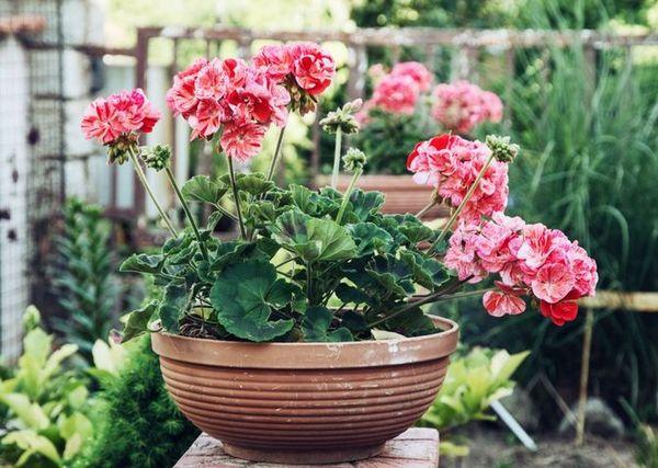 Цветок герань - любимец садоводов