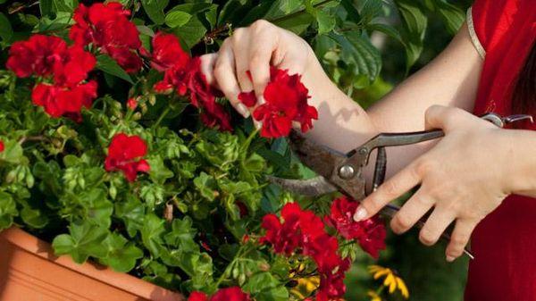 В начале весны проводят обрезку растения