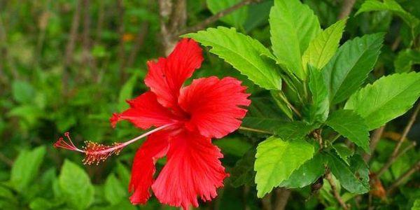 В садах это растение выращивают лишь в субтропиках
