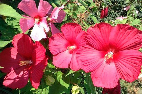 Гибискус травянистый имеет большие цветки