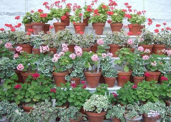 Ухаживать за данными растениями легко