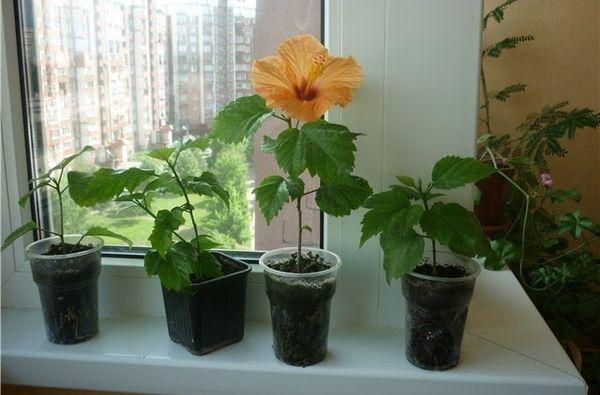 Размножить гибискус можно, сразу высадив черенок в почву