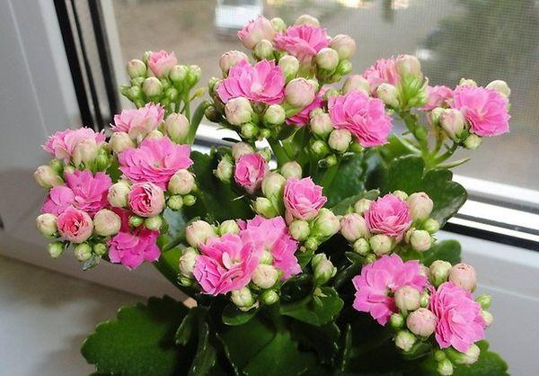 Каланхоэ цветет по окончанию зимы
