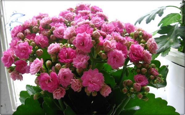 Каландива: описание каландивы, цветение, необходимое освещение, полив каландивы, уход за цветком.