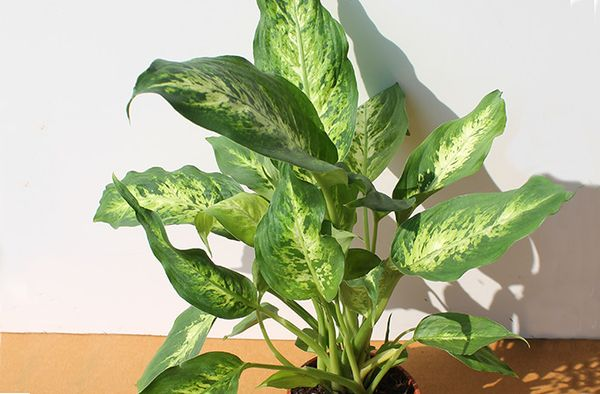 Диффенбахия - тенелюбивое растение