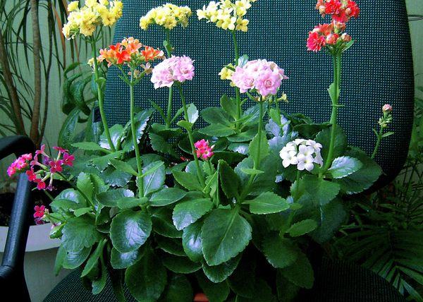 Каланхоэ Блоссфельда подходит для выращивания в домашних условиях.