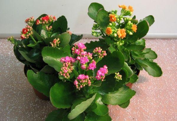 Растение каланхоэ лечебные свойства