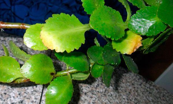 У каланхоэ желтеют листья и вследствие естественных процессов