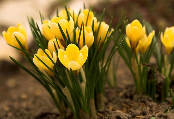 Тюльпаны, посаженные осенью, будут радовать своим цветением уже весной