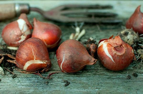 Выкапывать луковицы тюльпана лучше вилами, а не лопатой