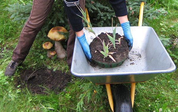 Использование контерйнера облегчает извлечение луковичных из земли