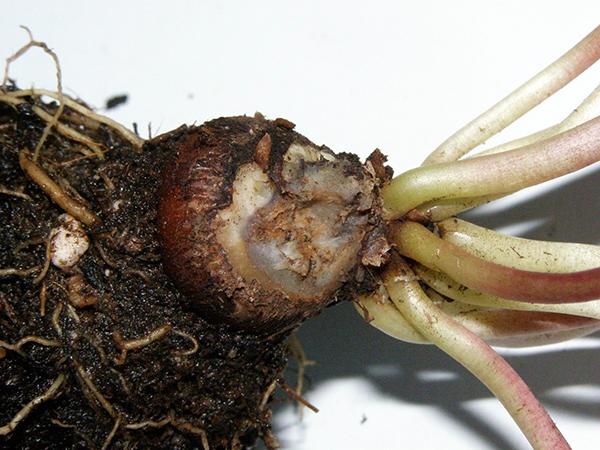 Поражение молодой луковицы гнилью