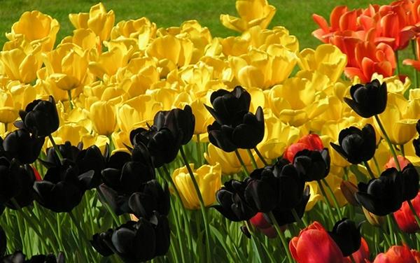 Группы тюльпанов разного цвета