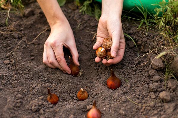 Луковицы тюльпана надо высаживать группами
