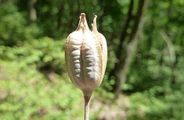 Когда цветонос отцветает, появляется семенная коробочка