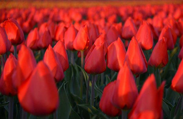 Оранжево-красные тюльпаны Лилабела