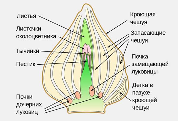 Луковица тюльпана – видоизмененный подземный побег
