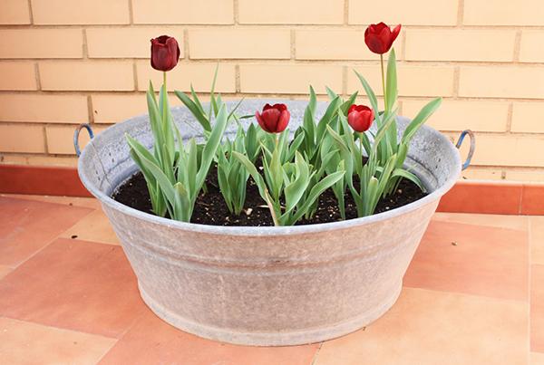 В горшок или вазон тюльпаны можно посадить и в начале зимы