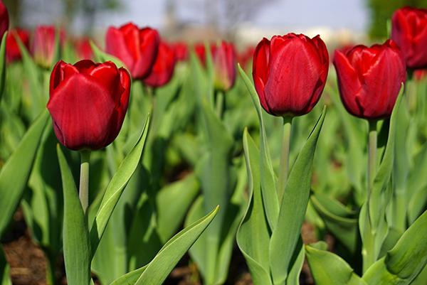 Насыщенно-красные однотонные тюльпаны Парад