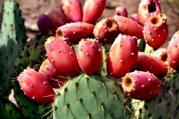 Плоды опунции можно употреблять в пищу