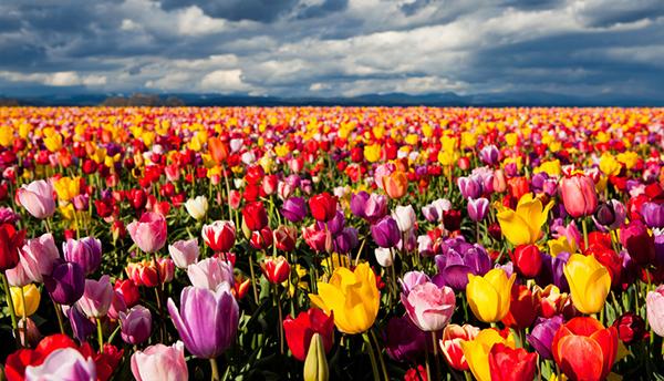 Широкий выбор тюльпанов позволит создать потрясающую композицию