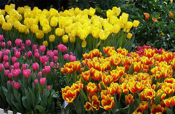 Разные виды тюльпанов требуют разной частоты выкапывания