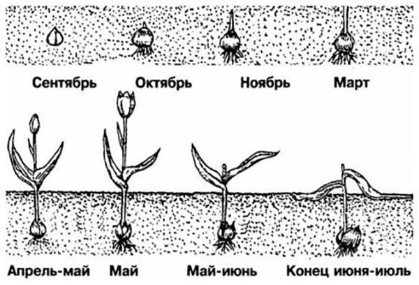 Выкапывать тюльпаны нужно в конце июня - начале июля