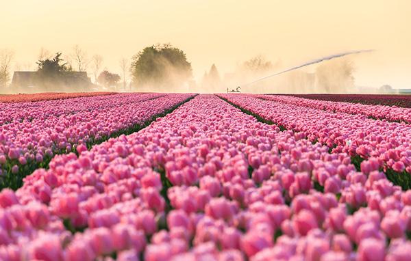 Тюльпан Ван Эйк очень популярен в Голландии