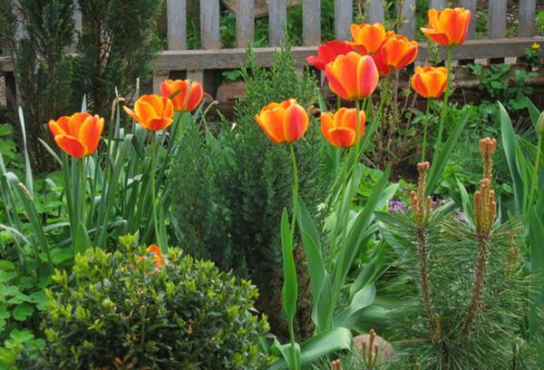 Красивое сочетание сочной зелени и тюльпанов