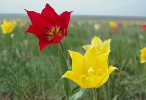 Дикий тюльпан отличается от садового формой листьев, сроками цветения, способе размножения