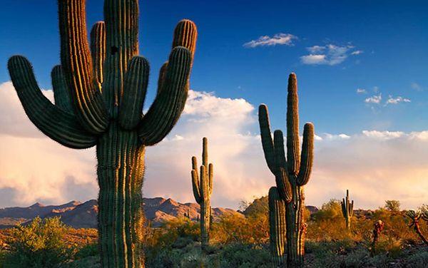 Родина кактуса – засушливые регионы Северной и Южной Америки