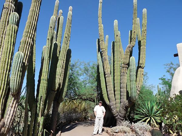 Сагуаро - гигантские пустынные кактусы