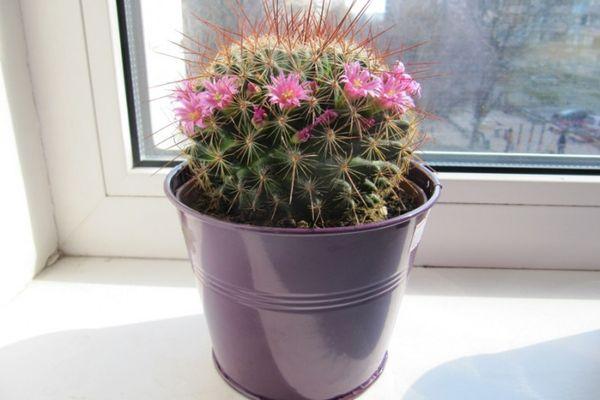 Кактус родина растения необходимый состав почвы