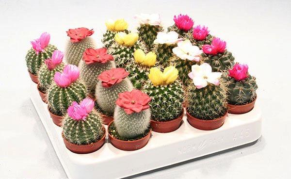 Гимнокалициум микс уход в домашних условиях за кактусами