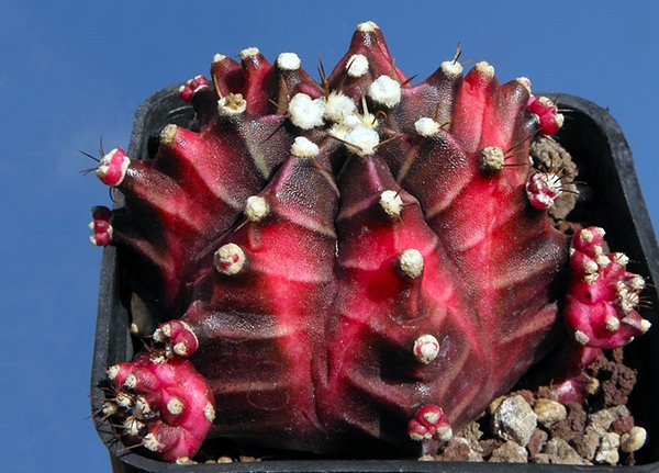 Красный кактус Gymnocalycium mihanovichii (Гимнокалициум Михановича)
