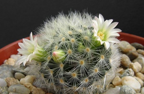 Кармен цветет белоснежными цветочками