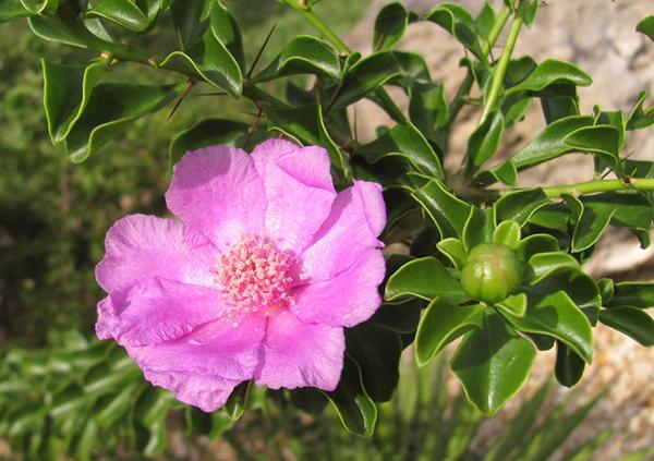 Цветущий кустарник переския портулаколистная