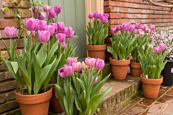 Тюльпаны можно ли выращивать в комнатных условиях