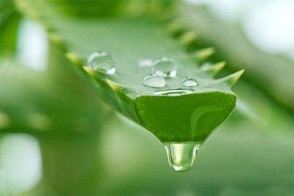 Лечебные свойства растения безграничны