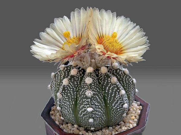 Крашеный от природы кактус Astrophytum (Астрофитум)