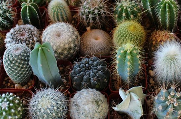 Большинство кактусов имеют зеленый стебель и характерного окраса иголки