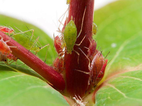 Тля - докучливое мелкое насекомое